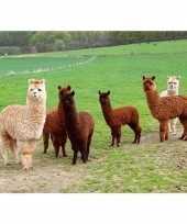 Goedkope dieren magneet d alpacas